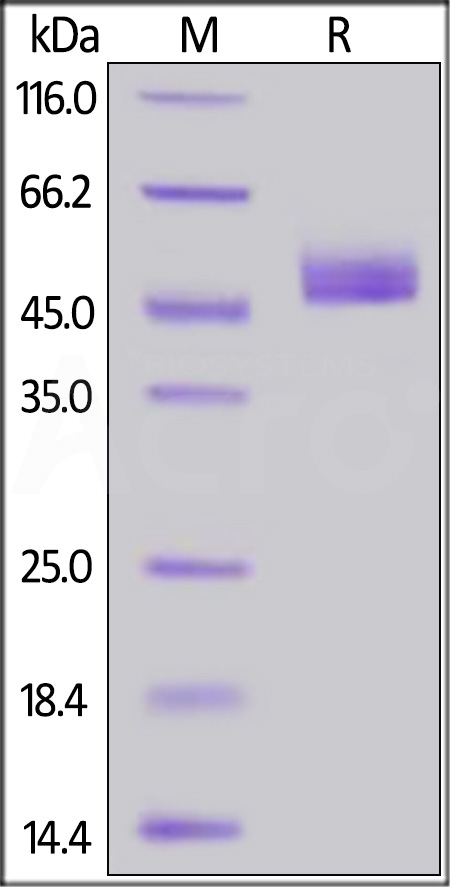 Human CD3E&CD3D Heterodimer Protein, Fc,His Tag&Fc,Flag Tag (MALS verified, Super sensitivity) (Cat. No. CDD-H52W8) SDS-PAGE gel