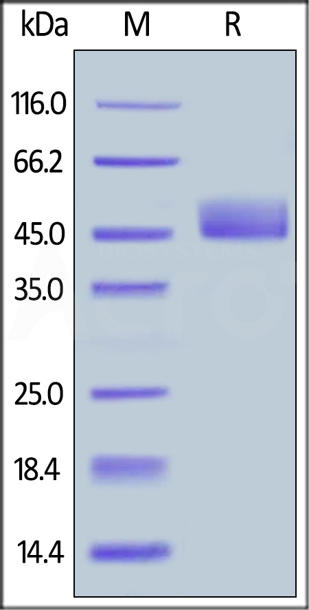Biotinylated Human CD3E & CD3D (Cat. No. CDD-H82W0) SDS-PAGE gel