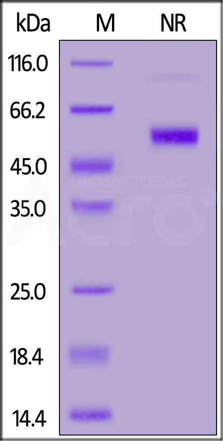 FITC-Labeled Human CD27 Ligand, His,Flag Tag (Cat. No. CDD-HF2D4) SDS-PAGE gel