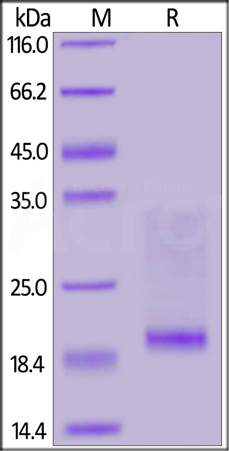 Mouse CD3E&CD3D Heterodimer Protein, His Tag&Flag Tag (MALS verified) (Cat. No. CDD-M5219) SDS-PAGE gel