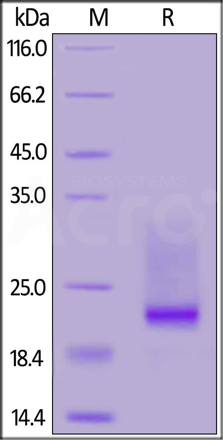 Biotinylated Mouse CD3E&CD3D Heterodimer Protein, His,Avitag&Tag Free (Cat. No. CDD-M82W5) SDS-PAGE gel