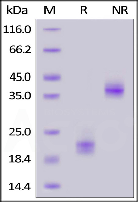Human CD3 epsilon, His Tag (Cat. No. CDE-H5223) SDS-PAGE gel