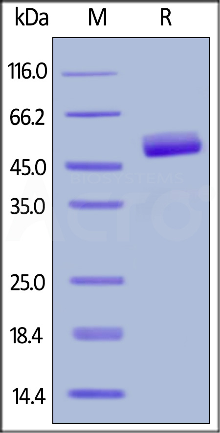 Human CD3 epsilon, Fc,His Tag (Cat. No. CDE-H5256) SDS-PAGE gel