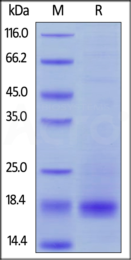 Biotinylated Human CD3 epsilon, His,Avitag (Cat. No. CDE-H82E1) SDS-PAGE gel