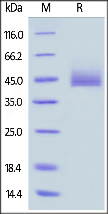 Human CD3E&CD3G Heterodimer Protein, Fc,His Tag&Fc,Flag Tag(MALS verified) (Cat. No. CDG-H52W9) SDS-PAGE gel