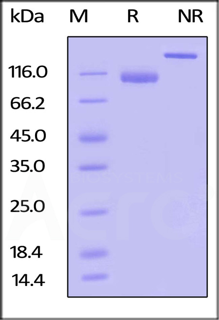 Biotinylated Human LILRB1, Fc,Avitag (Cat. No. CDJ-H82F7) SDS-PAGE gel