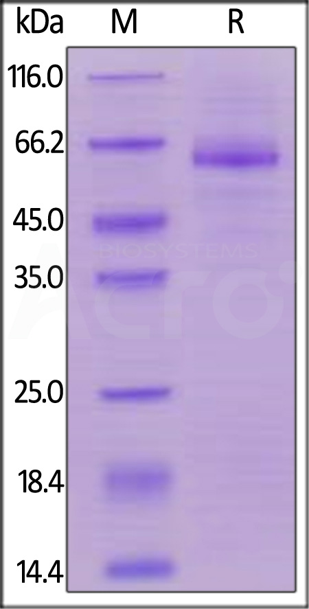 Human LILRB4, Mouse IgG2a Fc Tag, low endotoxin (Cat. No. CDK-H5259) SDS-PAGE gel