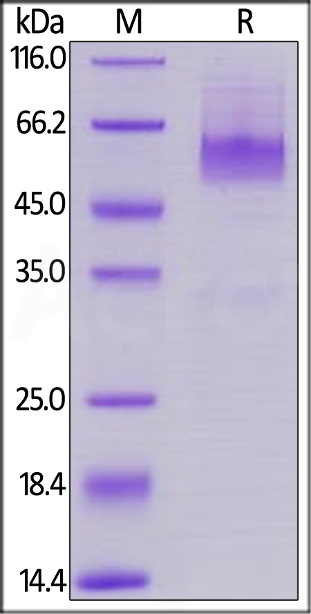 Human CD27 Ligand, Mouse IgG2a Fc Tag, low endotoxin (Cat. No. CDL-H525a) SDS-PAGE gel