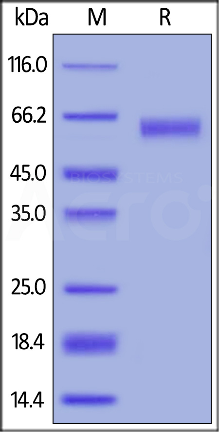 Human CD30 Ligand, Mouse IgG2a Fc Tag, low endotoxin (Cat. No. CDL-H525b) SDS-PAGE gel
