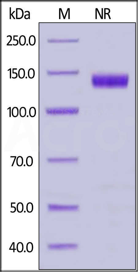 Human CD27 Ligand, Fc Tag (active trimer) (MALS verified) (Cat. No. CDL-H5266) SDS-PAGE gel