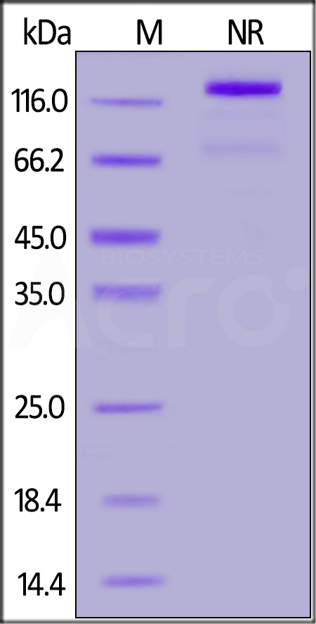 Human CD40 Ligand, Fc Tag (active trimer) (MALS verified) (Cat. No. CDL-H5269) SDS-PAGE gel