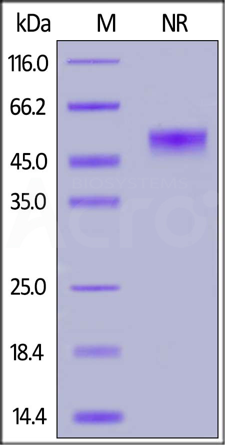 Human CD40 Ligand, His,Flag Tag (active trimer) (MALS verified) (Cat. No. CDL-H52Db) SDS-PAGE gel
