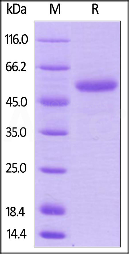 Biotinylated Human CD40 Ligand, Fc Tag (Cat. No. CDL-H82F1) SDS-PAGE gel