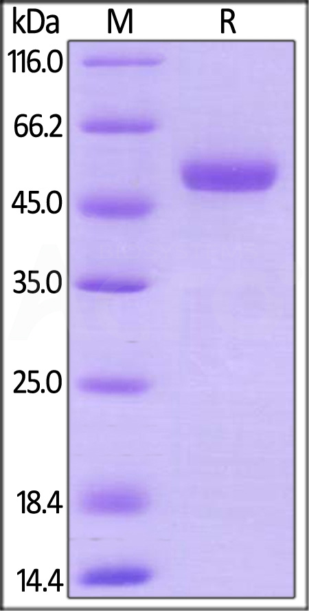 Mouse CD27 Ligand, Mouse IgG2a Fc Tag, low endotoxin (Cat. No. CDL-M5251) SDS-PAGE gel