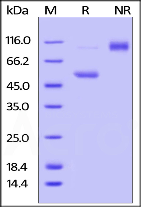 Mouse CD40 Ligand, Fc Tag (Cat. No. CDL-M526x) SDS-PAGE gel