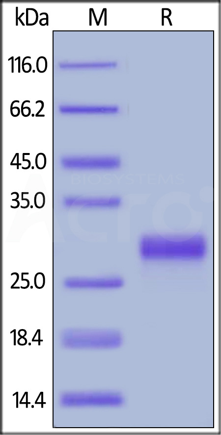 Biotinylated Mouse CD27 Ligand, His Tag, Avi Tag (Cat. No. CDL-M82Qb) SDS-PAGE gel