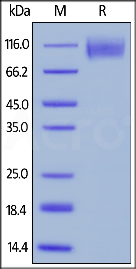 Biotinylated Human CEACAM-5, His,Avitag (Cat. No. CE5-H82E0) SDS-PAGE gel