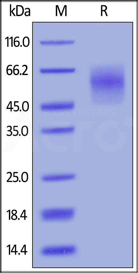 Biotinylated Human CEACAM-6, His,Avitag (Cat. No. CE6-H82E7) SDS-PAGE gel