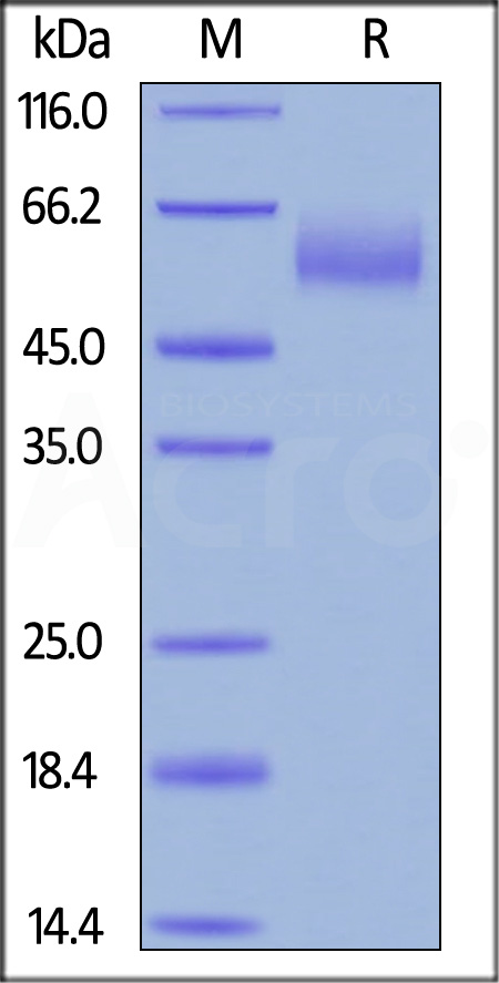 Biotinylated Human CEACAM-8, His Tag, Avi Tag (Cat. No. CE8-H82E9) SDS-PAGE gel