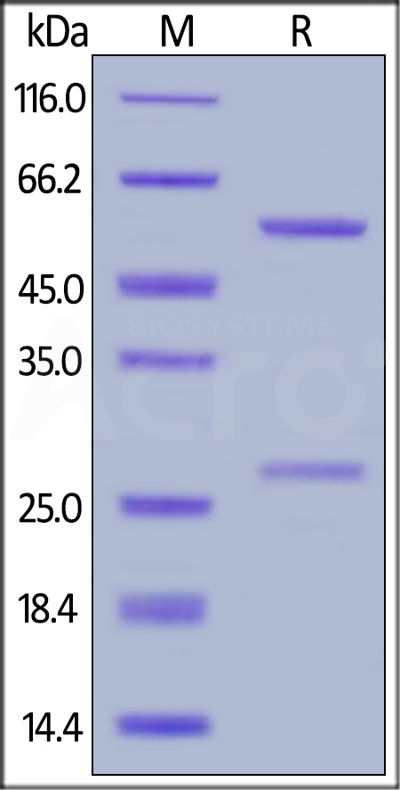 Biotinylated Anti-Cetuximab Antibodies (recommended for PK/PD) (Cat. No. CEB-BY31) SDS-PAGE gel