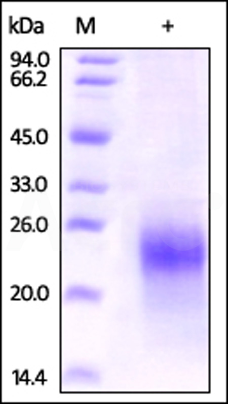 Human CG alpha, His Tag (Cat. No. CGA-H52H2) SDS-PAGE gel