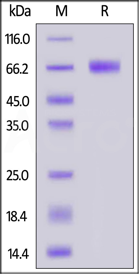 Biotinylated Human CLEC12A, Fc,Avitag (Cat. No. CLA-H82F7) SDS-PAGE gel