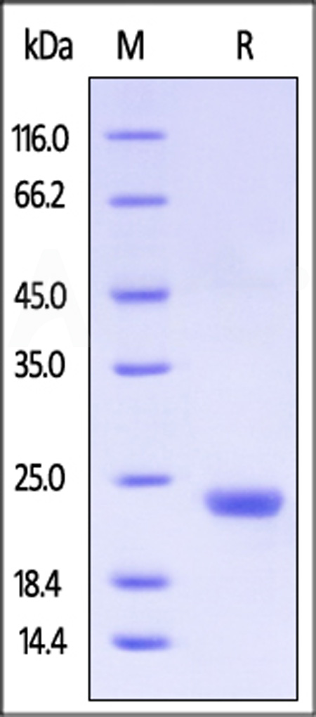 Human CLEC3B, His Tag (Cat. No. CLB-H5226) SDS-PAGE gel