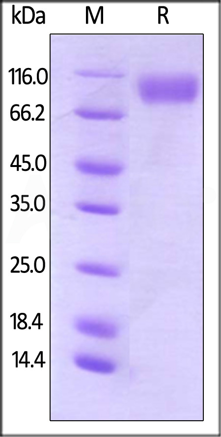 Biotinylated Human CD200 R1, Fc Tag (Cat. No. CR2-H82F4) SDS-PAGE gel