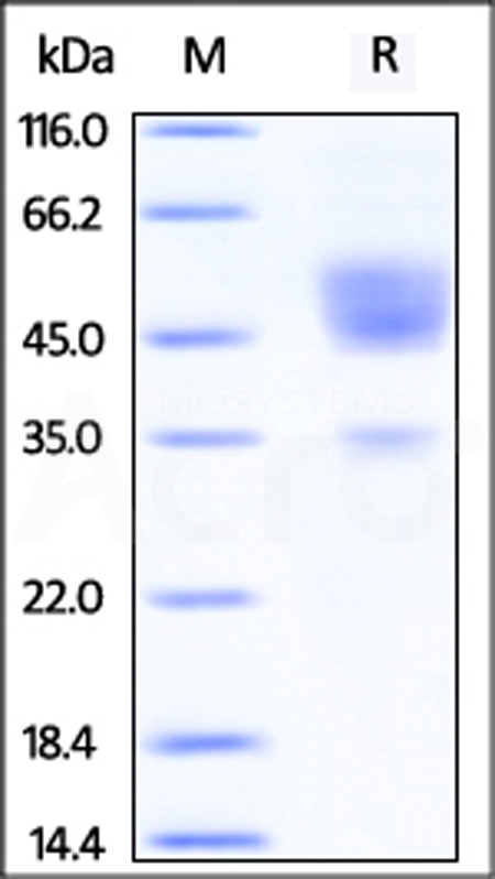 Human TDGF1, Fc Tag (Cat. No. CRO-H5253) SDS-PAGE gel