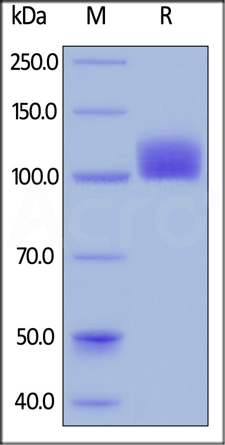 Human M-CSF R, Fc Tag, low endotoxin (Cat. No. CSR-H5258) SDS-PAGE gel