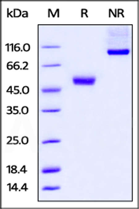 Human CTLA-4, mouse IgG2a Fc Tag, low endotoxin (Cat. No. CT4-H52A4) SDS-PAGE gel