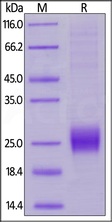 Biotinylated Human CTLA-4, His,Avitag (Cat. No. CT4-H82E1) SDS-PAGE gel