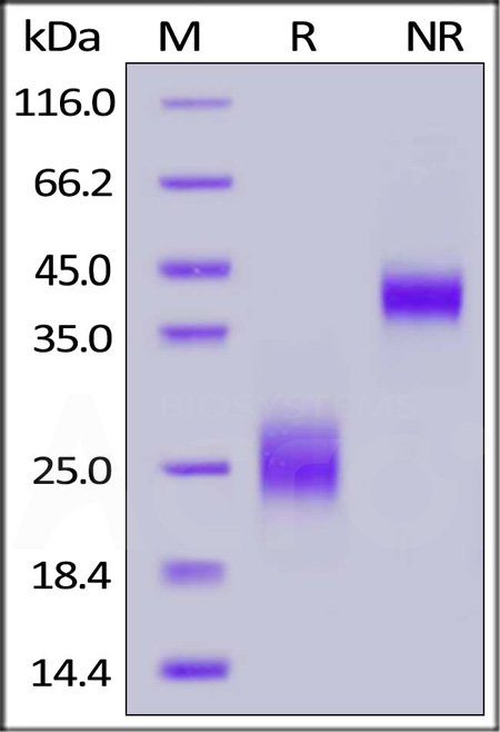 Biotinylated Human CTLA-4, His,Avitag (Cat. No. CT4-H82E3) SDS-PAGE gel