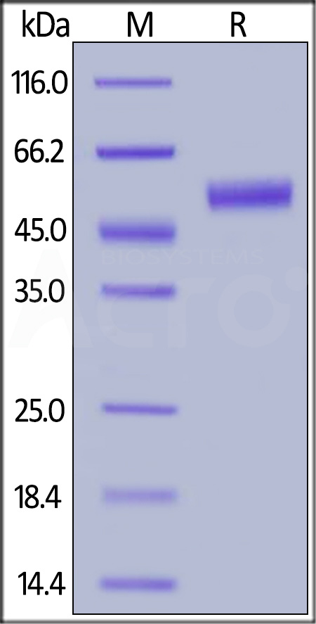 Biotinylated Human CTLA-4, Fc,Avitag (Cat. No. CT4-H82F3) SDS-PAGE gel