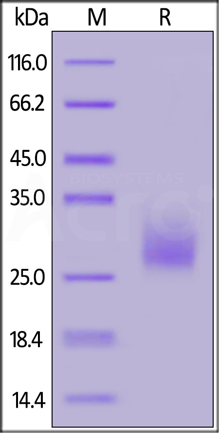 Biotinylated Mouse CTLA-4, His,Avitag (Cat. No. CT4-M82E7) SDS-PAGE gel