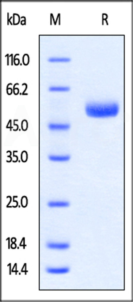 Rabbit CTLA-4 Protein, Fc Tag (Cat. No. CT4-R5250) SDS-PAGE gel