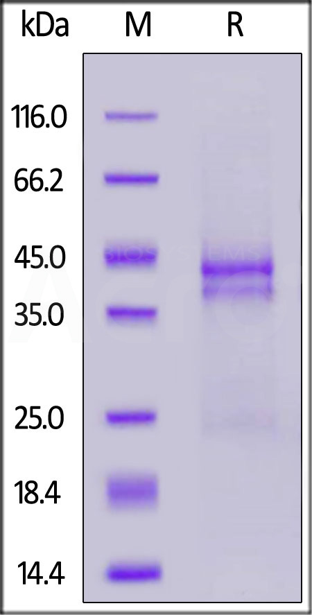 Human CTGF (Cat. No. CTF-H52H5) SDS-PAGE gel
