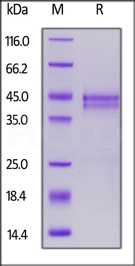 Biotinylated Human CTGF, His,Avitag (recommended for biopanning) (Cat. No. CTF-H82E6) SDS-PAGE gel