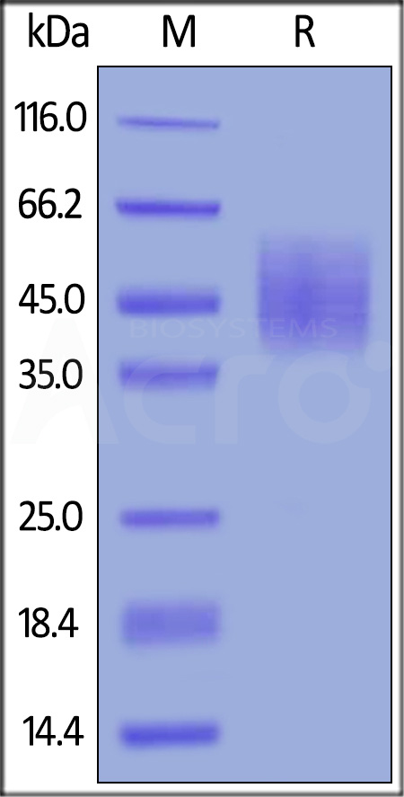 Cynomolgus DNAM-1 (Cat. No. DN1-C52H9) SDS-PAGE gel