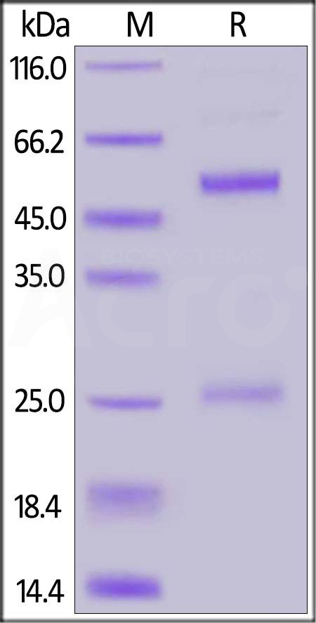 FITC-Labeled Monoclonal Anti-DNP antibody, Mouse IgG1 Isotype Control (Cat. No. DNP-FM1) SDS-PAGE gel