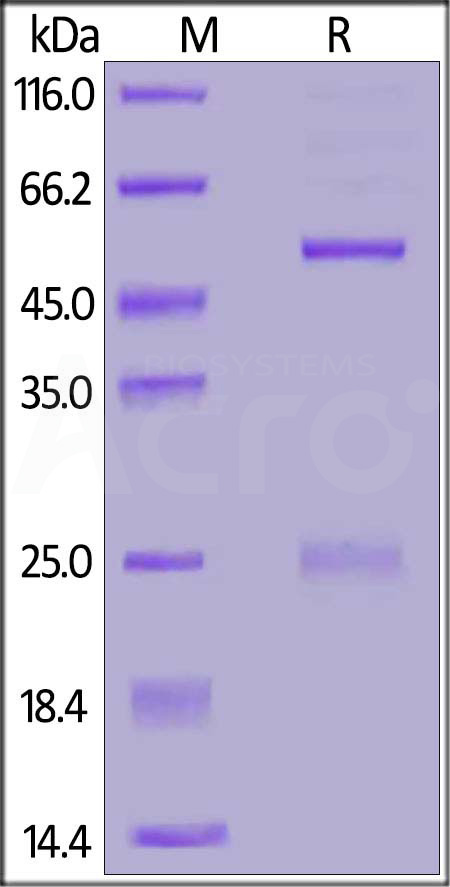 FITC-Labeled Monoclonal Anti-DNP antibody, Human IgG1 Isotype Control (Cat. No. DNP-FM2) SDS-PAGE gel