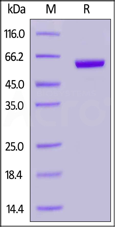 Human Ephrin-A3, Fc Tag (Cat. No. EA3-H5258) SDS-PAGE gel