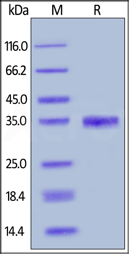 Human EGF, Mouse IgG2a Fc Tag (Cat. No. EGF-H525b) SDS-PAGE gel