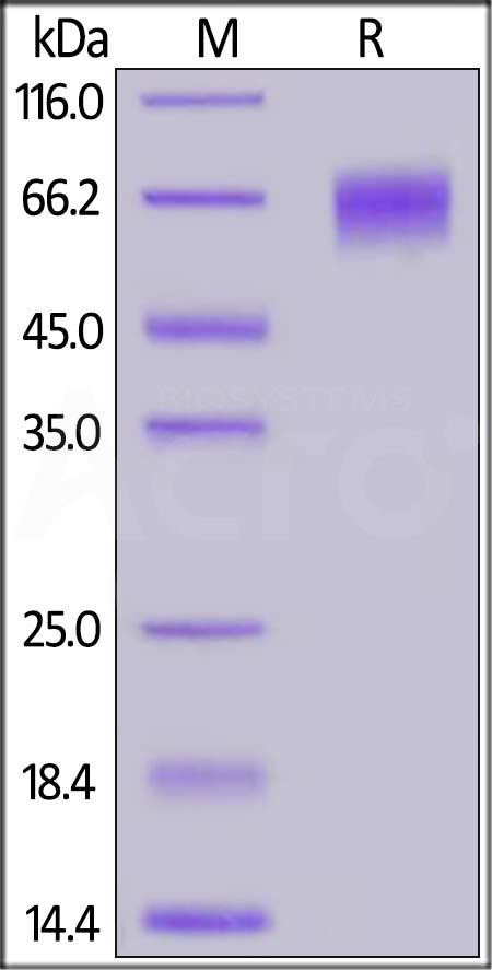 FITC-Labeled Human EGFRvIII Protein, His Tag (Cat. No. EGI-HF2H7) SDS-PAGE gel