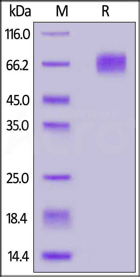 Biotinylated Human EGFRvIII, His Tag (Cat. No. EGR-H82E0) SDS-PAGE gel
