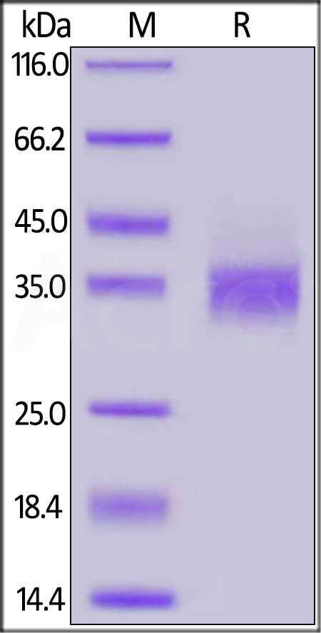 Biotinylated Human EpCAM (Cat. No. EPM-H8223) SDS-PAGE gel