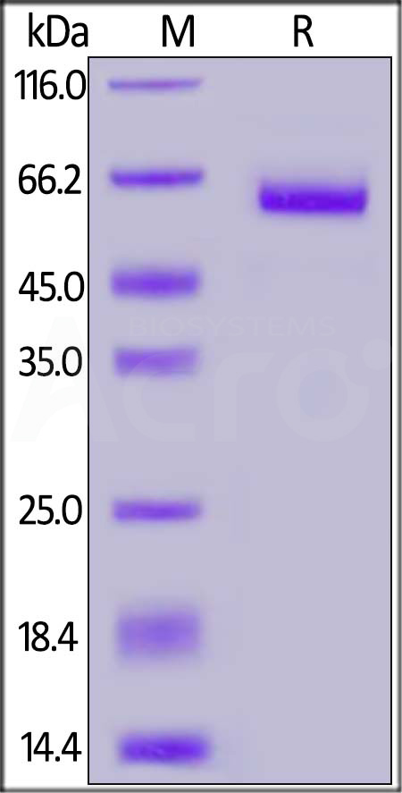 Biotinylated Human EpCAM, Fc Tag (Cat. No. EPM-H8254) SDS-PAGE gel