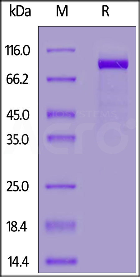 Biotinylated Mouse FAP, His,Avitag™ (Cat. No. FAP-M82Q5) SDS-PAGE gel