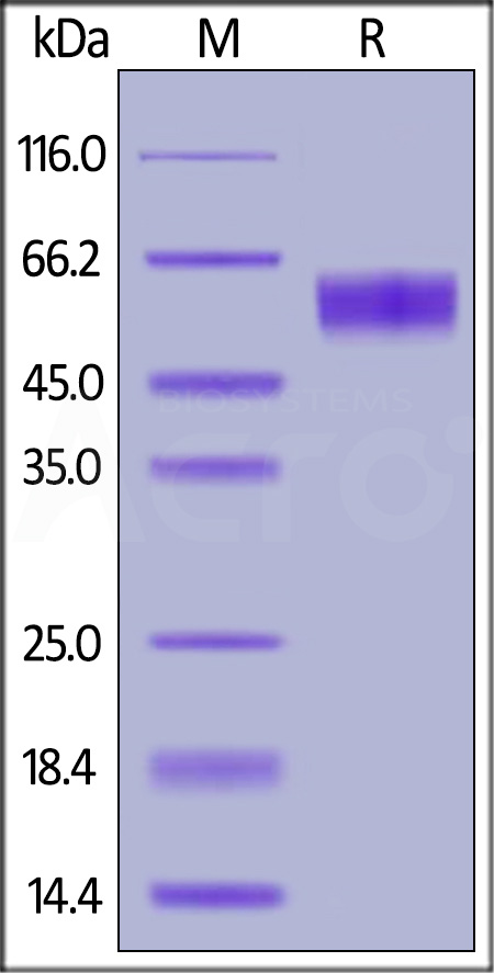 Human Fas, Fc Tag (Cat. No. FAS-H5252) SDS-PAGE gel