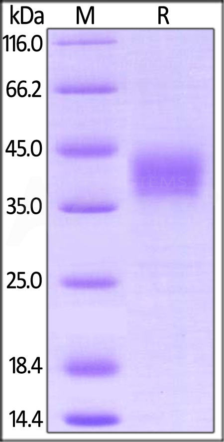 Biotinylated Cynomolgus CD16, His,Avitag (BLI verified) (Cat. No. FC6-C82E0) SDS-PAGE gel
